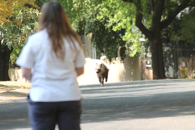 A woman watches as the hyena runs towards her on a Joburg street.