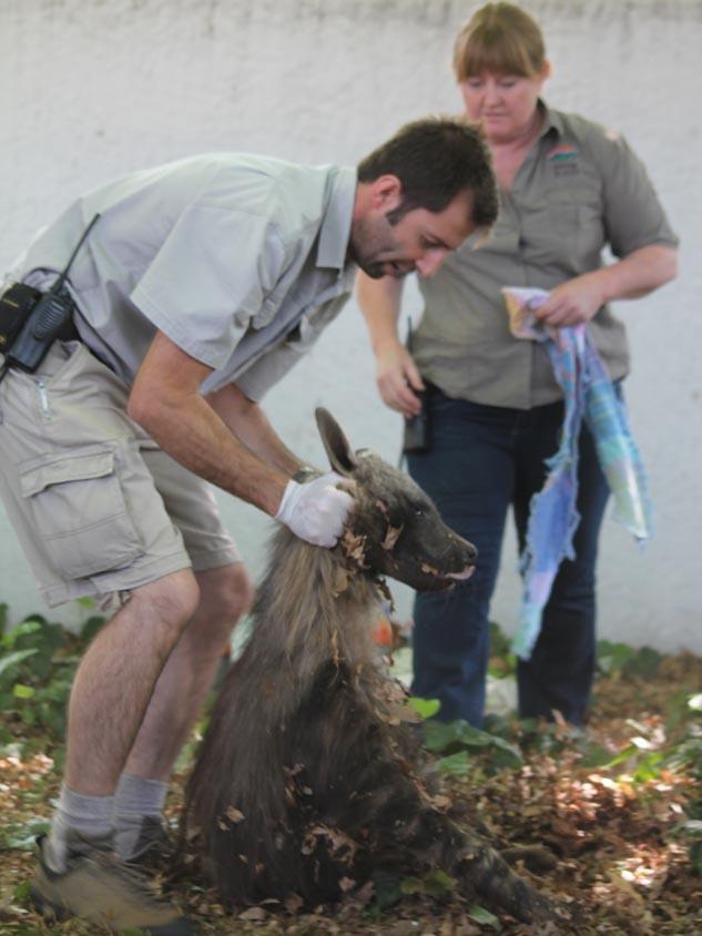 Dr Brett Gardner from Joburg Zoo picks up the darted hyena.