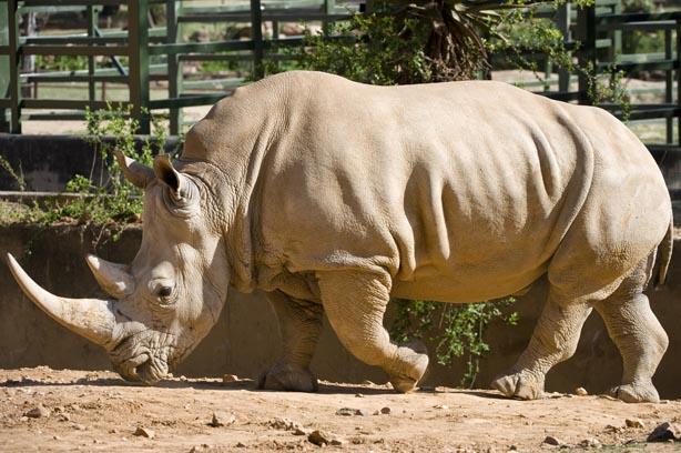 FILE PICTURE: Zimbi, the female white rhino at the Johannesburg Zoo. Picture: Michel Bega