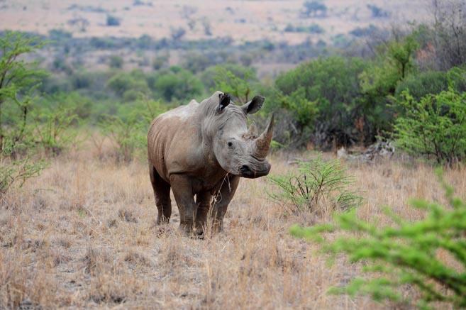 FILE PICTURE: A male rhino. Picture: Tracy Lee Stark