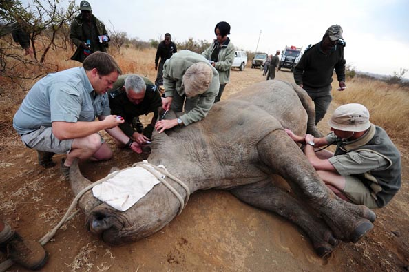 FILE PICTURE: The 6-7 Year old Rhino was captured, samples taken and moved to a holding area where she will be relocated to another area within the park, 25 July 2012. Picture: Neil McCartney