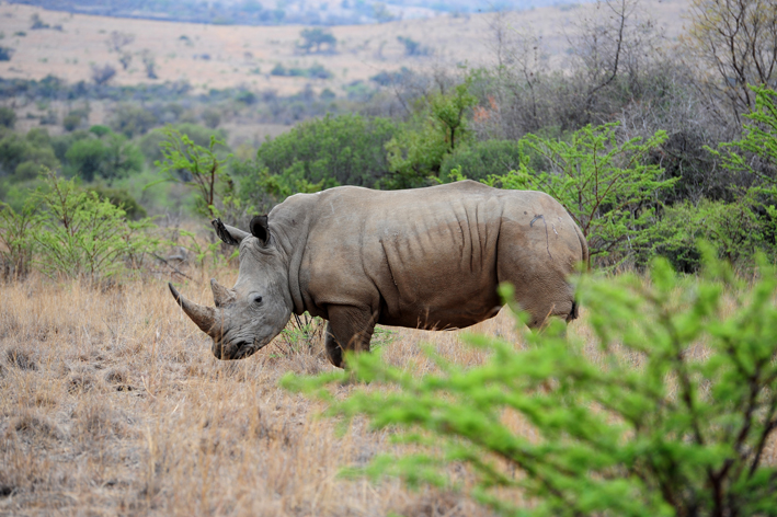 FILE PICTURE: A male Rhino stands after being darted in order to be tagged and have DNA samples collected.  Picture: Tracy Lee Stark