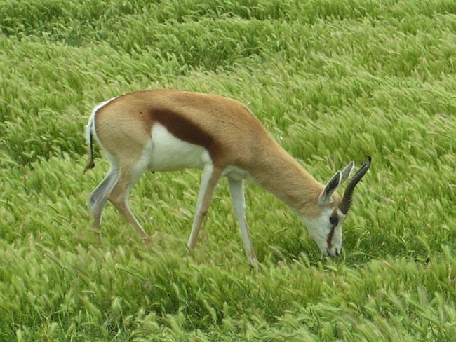 Springbok.Image courtesy of Wiki Media Commons.