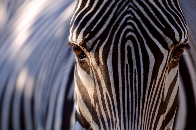 Zim soldiers held for poaching zebra