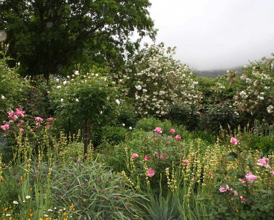 """This autumn garden is a soft mix of standard """"Iceberg"""" roses interspersed with pink """"Duet"""" roses, spires of yellow verbascum and grey foliage plants."""