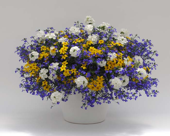 """The """"in"""" colours for spring. Blue lobelia, yellow bidens and white verbena make up this crisp combination."""