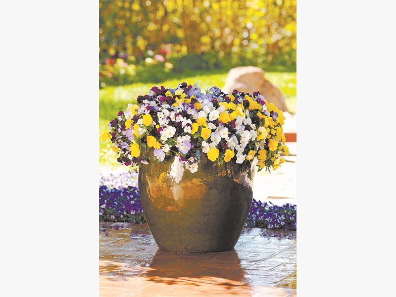COMPLEMENTARY. Mix warm and cool colours for a pansy-filled container that sparkles. Pictures: Supplied.