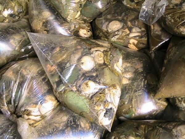 FILE PICTURE: Abalone in plastic bags. Picture: William McIntosh/Gallo Images