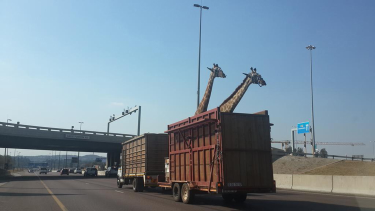 A photograph posted to Twitter by @thinusb_ on 31 July 2014 shows two giraffes being transported by trailer along the N1 heading to Pretoria. Picture: @thinusb_ / via Twitter
