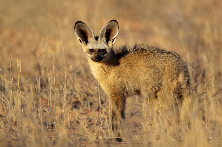 Bat-eared fox. Picture: Thinkstock