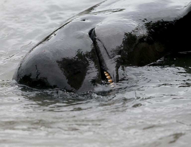 The pilot whales are forced into a shallow bay before being hacked to death with hooks and knives, according to a local Faroe Island custom known as the