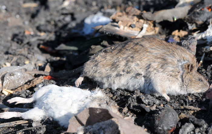 FILE PICTURE: Dead rats at a dumping site next to where a one- month-old baby whose three fingers and part of a nose were eaten by rats in Alexandra, Johannesburg. Pictured on 27 August 2014. Picture: Nigel Sibanda