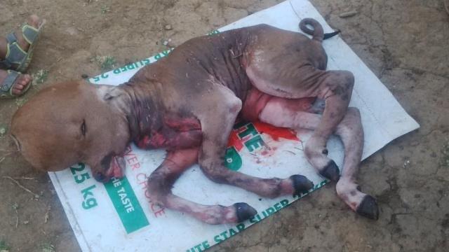 Half Dog Half Human In Limpopo