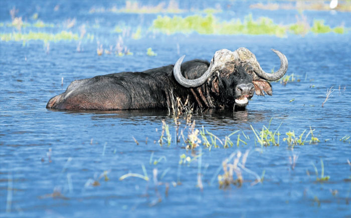 A buffalo. Photo: Gallo Images / Sunday Times / Marianne Schwankhart