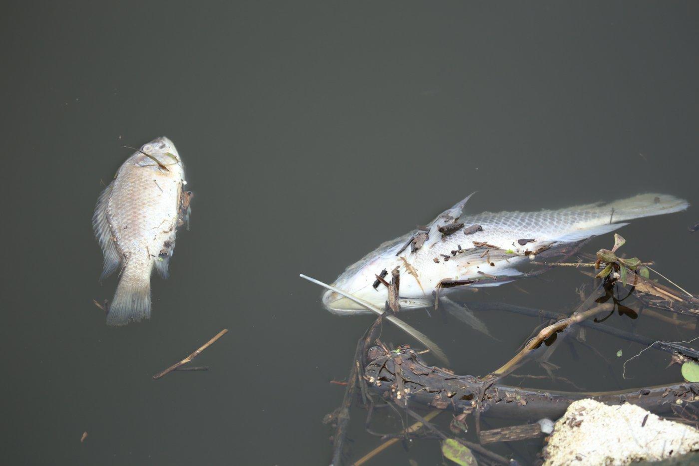 Scores of dead fish littered Toti Lagoon on Monday morning. Pic: South Coast Sun.