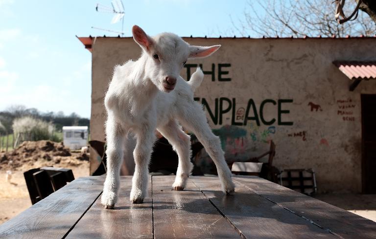 AFP/File / Alberto Pizzoli<br />A lamb named