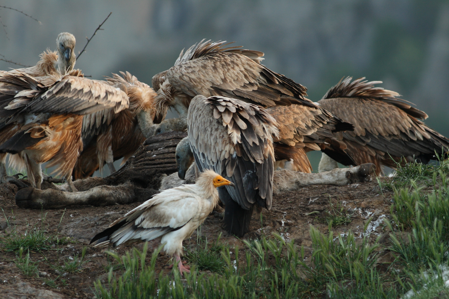 African vultures, whose population is decreasing. Pic: Lowvelder