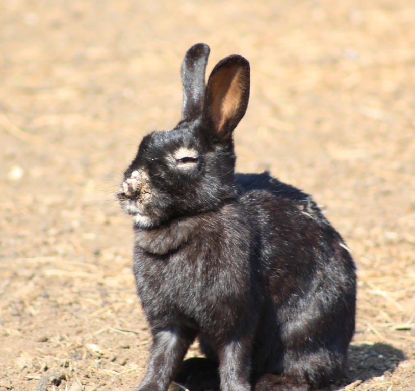 One of the diseased bunnies at the Rynfield Bunny Park. Pic: Benoni City Times
