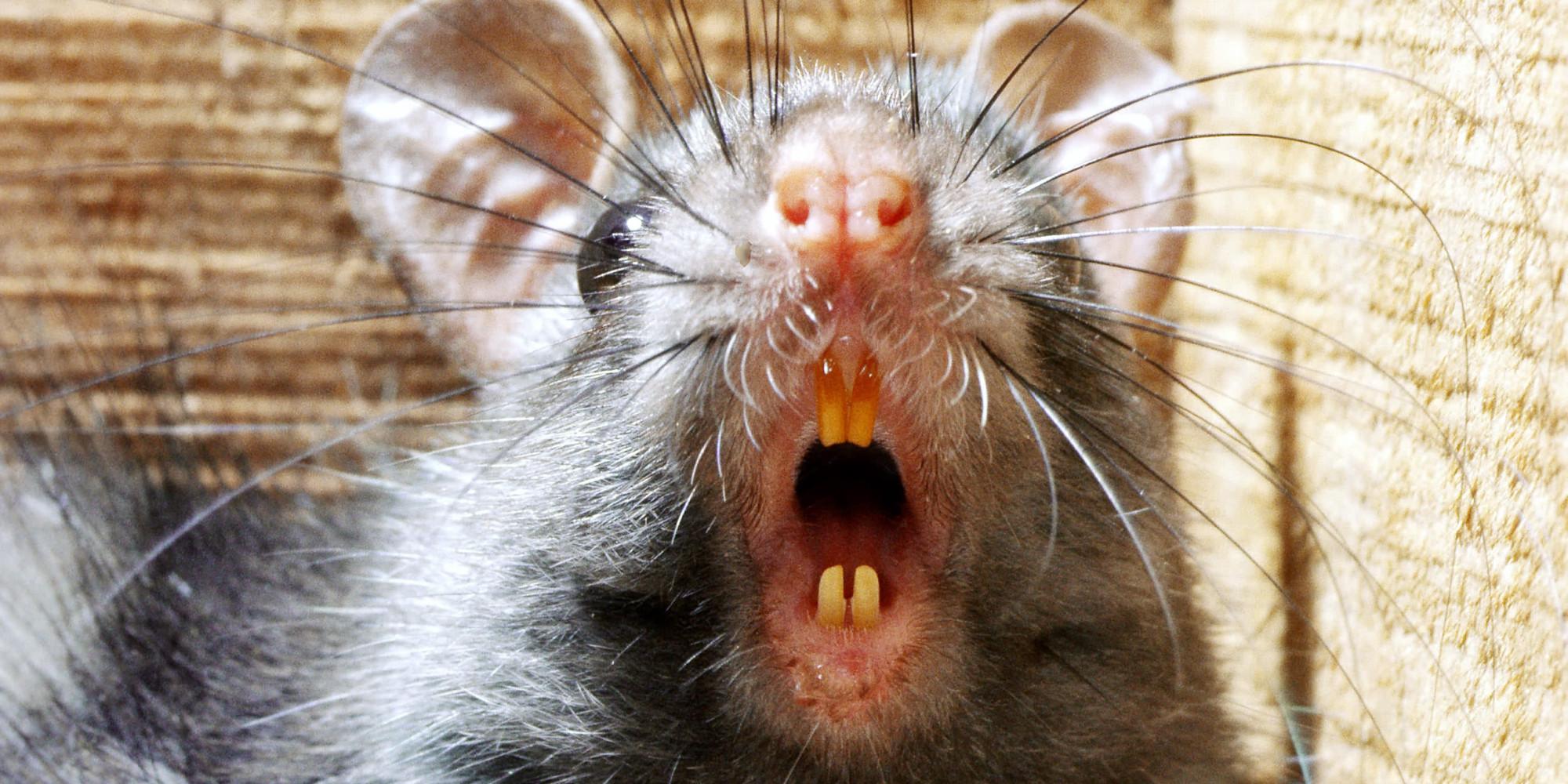 Black rat threatening with teeth bared