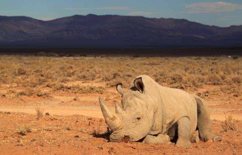 (FILES) A file picture taken on March 23, 2013 shows a rhino at the private game reserve of French Damien Vergnaud, who is running a breeding programme for cheetahs and organised an armed security guard to protect his rhinos from poaching, in Inverdoom, 200 kms north east of Cape Town. A South African judge on November 26 lifted a domestic ban on trade in rhino horns, in a direct challenge to government policy put in place in 2009 to try to stem rocketing poaching numbers. AFP PHOTO / CHRISTOPHE BEAUDUFE / AFP / CHRISTOPHE BEAUDUFE