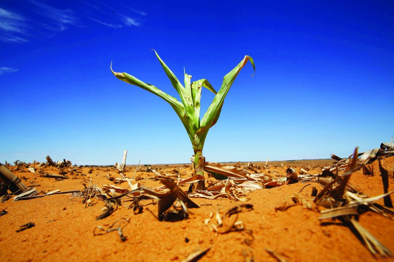 A maize plant is seen among other dried maize at a field in Hoopstad, a maize-producing district in the Free State province, South Africa, January 13, 2016. South Africa suffered its driest year on record in 2015, the national weather service said on Thursday, as a drought that has threatened the vital maize crop and hit economic growth showed no sign of abating. REUTERS/Siphiwe Sibeko