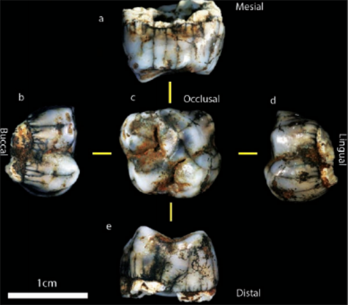 The newly discovered molar. Pictures: Supplied.