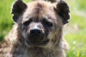 Hyena mauls boy in Kruger Park