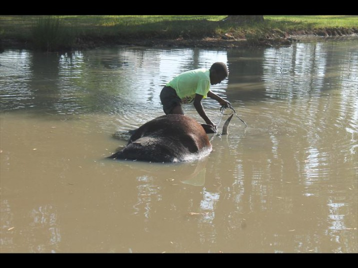 A cow was removed from the pond at the golf course on Monday Picture: Standerton Advertiser