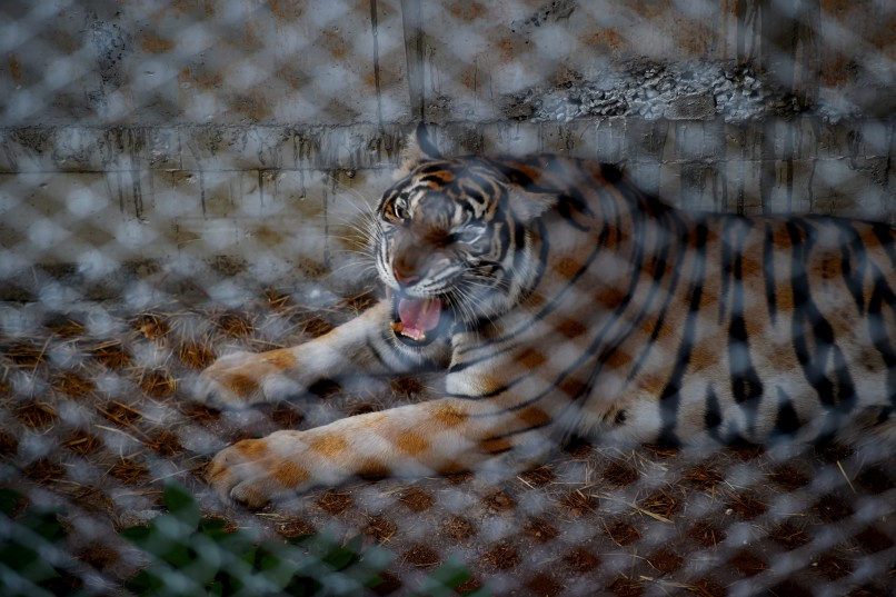 A tiger is seen in an enclosure at the Wat Pha Luang Ta Bua Tiger Temple in Kanchanaburi province, western Thailand on May 30, 2016.   Thai wildlife officials armed with a court order on May 30 resumed the treacherous process of moving tigers from a controversial temple which draws tourists as a petting zoo, but stands accused of selling off the big cats for slaughter. / AFP PHOTO / CHRISTOPHE ARCHAMBAULT