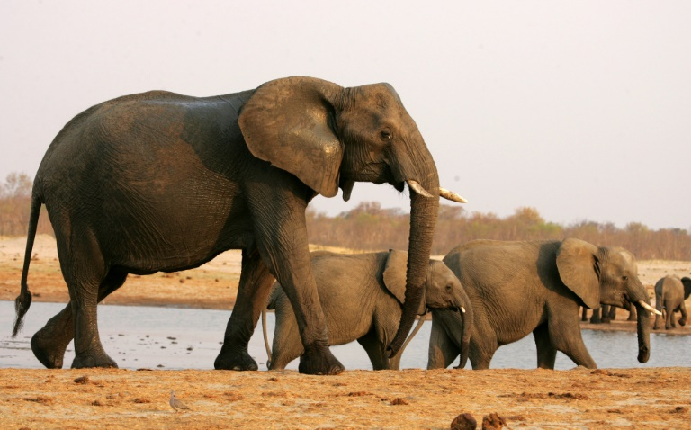 AFP/File / Jekesai Njikizana<br />Zimbabwe has in recent years exported elephants in a bid to raise funds and cut the ballooning population
