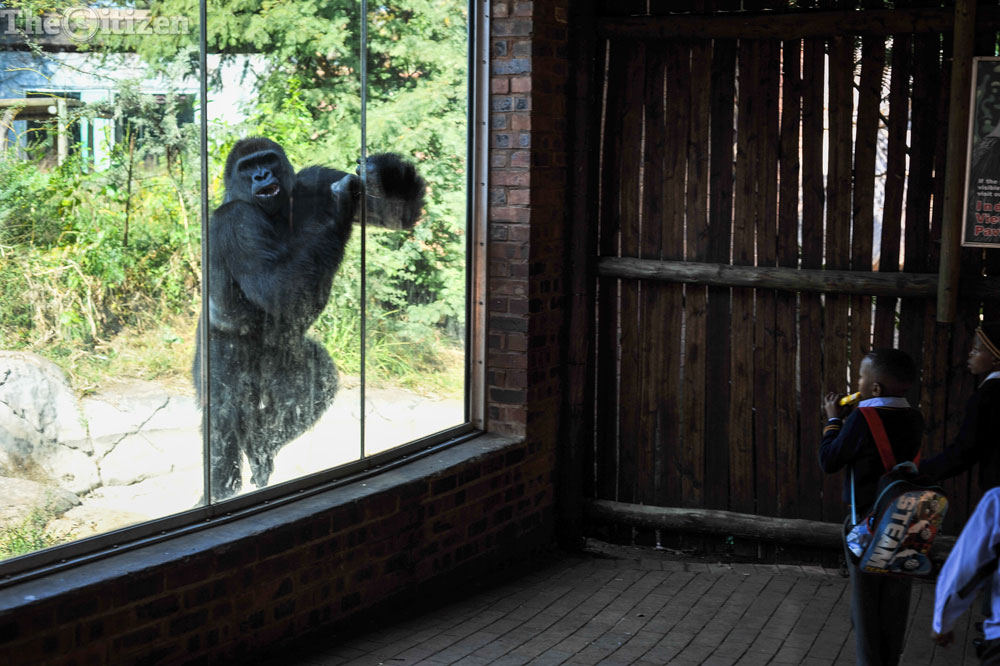A gorilla hits the glass of its enclosure in the Pretoria Zoo. Picture: Jacques Nelles