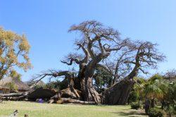 Trunk of world famous baobab tree splits