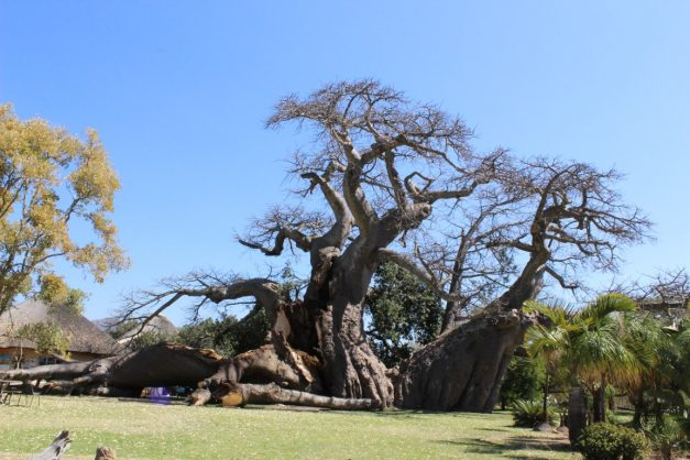 A third of the trunk of the Sunland Baobab in Modjadjiskloof crashed to the ground week. Picture: Letaba Herald.