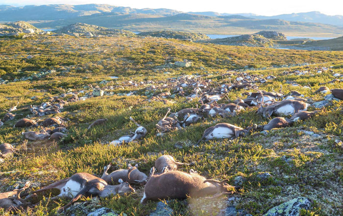 """Some 323 dead wild reindeers struck by lightning are seen littering a hill side on Hardangervidda mountain plateau in central Norway on Saturday August 27, 2016. AFP PHOTO / Norwegian Environment Agency / Haavard Kjontvedt"""""""