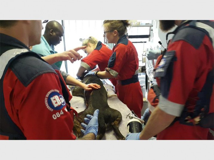 ER24 paramedics and vets work on stablising the stabbed dog after a break-in.