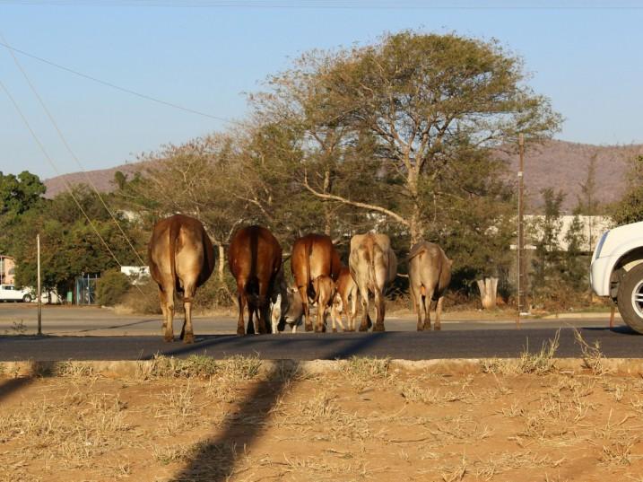 Letsitele cattle disrupting traffic. Picture: Jaryd Moore
