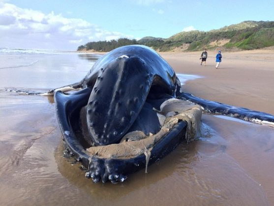 Two humpback whales were found after being washed ashore on the north coast of KwaZulu-Natal over the weekend. Picture: ANA