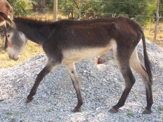 Botswana bans export of donkey products