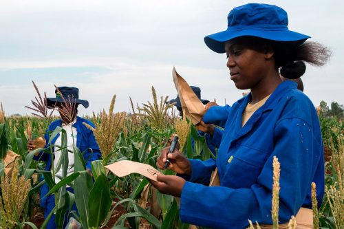 Plant breeders pollinate male and female plants in a plot of a heat-tolerant hybrid maize growing at the Chiredzi Research Station, on October 24 2016.  Under the scorching Zimbabwean sun, cattle seek shade among stunted thorn bushes in the drought-prone district of Zaka, where crops wither due to increasing temperatures and changing weather patterns. Severe lack of rain across southern Africa has hit the country hard, with government officials saying a quarter of the population faces starvation. Many villagers are forced to survive on wild fruit. / AFP / JEKESAI NJIKIZANA