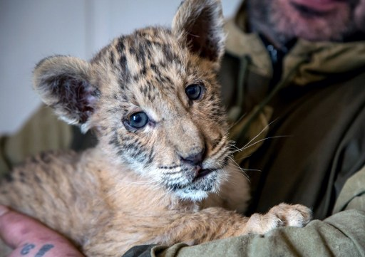 A picture taken on January 26, 2017 shows a travelling zoo keeper holding a two and a half months old liger cub, Tsar, a crossbreed between a lion and a tigress, in the town of Kamensk-Shakhtinsky in Russia's Rostov region. / AFP PHOTO / Yuri MALTSEV