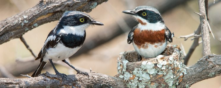 Chinspot Batis. Picture: Warwick Tarboton from his book Guide to Birds of the Kruger National Park