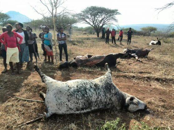 Cows killings