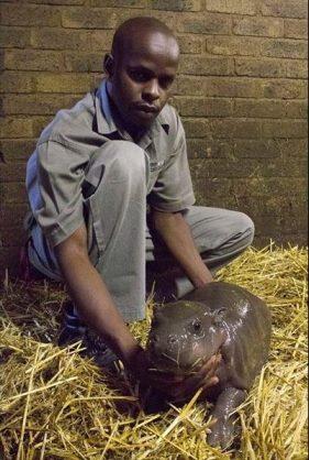 Pygym hippo