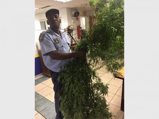 Dagga plants recovered.