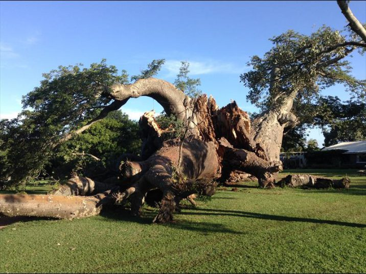 Another major section of the famous Sunland Baobab trunk has split off and crashed to the ground last week, destroying the pub enclosed inside the trunk. Read more inside.