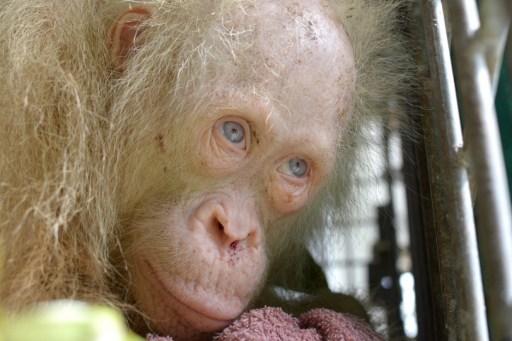 Albino orangutan named 'Alba' after global appeal