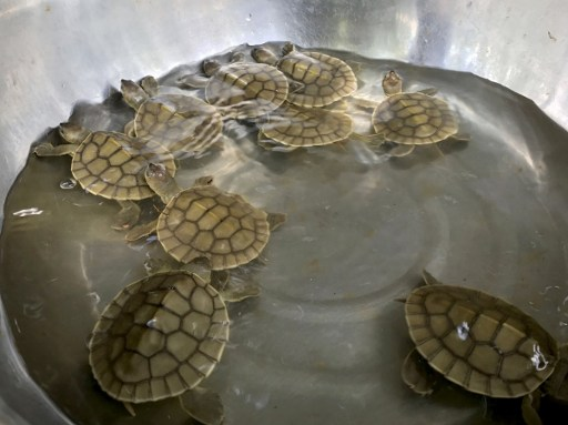 This handout photo taken on May 9, 2017 and released by the Wildlife Conservation Society on May 10, 2017 shows nine royal turtle hatchlings in a container at Kaong River in Koh Kong province. The birth of nine Cambodian royal turtle hatchlings has sparked hope for the future of a species on the brink of extinction, conservationists said on May 10. / AFP PHOTO / Wildlife Conservation Society / ENG MENGEY /