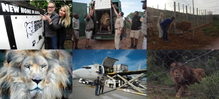 Former zoo lion Nelson and confiscated