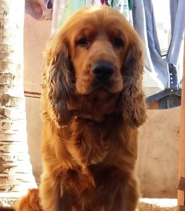 Four-year-old Cocker Spaniel Milo was stung to death by a swarm of bees.