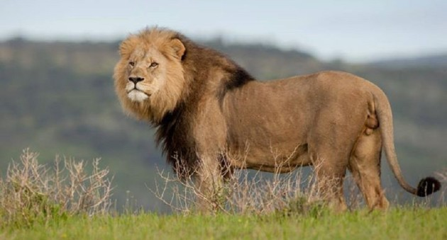Lion. Picture: Supplied